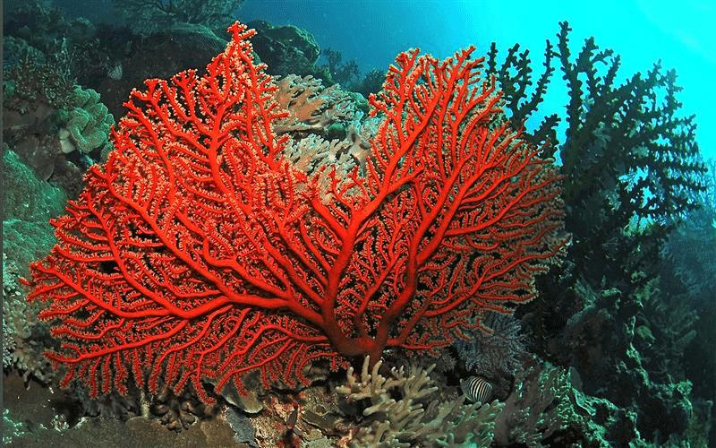 Corallo rosso di Trapani, vista dal fondale